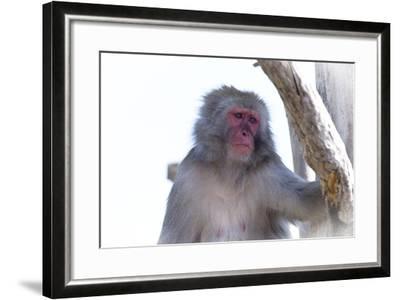Monkey-Gordon Semmens-Framed Photographic Print