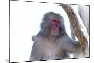 Monkey-Gordon Semmens-Mounted Photographic Print