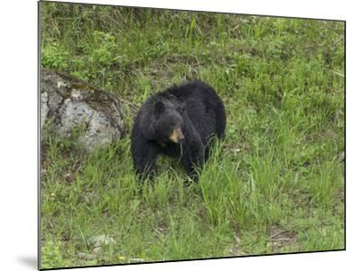 Black Bear (YNP)-Galloimages Online-Mounted Photographic Print