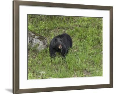Black Bear (YNP)-Galloimages Online-Framed Photographic Print
