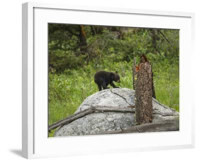 Bear Cub on Rock-Galloimages Online-Framed Photographic Print