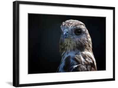 Hawk-Gordon Semmens-Framed Photographic Print