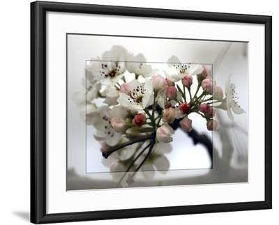 Cherry Blooms-Karen Williams-Framed Photographic Print