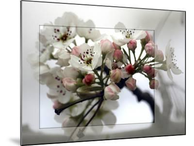Cherry Blooms-Karen Williams-Mounted Photographic Print