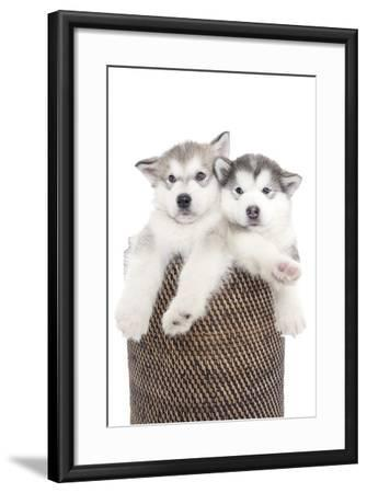 Puppies 018-Andrea Mascitti-Framed Photographic Print