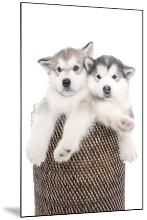 Puppies 018-Andrea Mascitti-Mounted Photographic Print