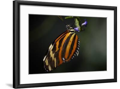 Butterfly-Gordon Semmens-Framed Photographic Print