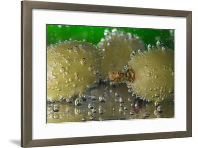 Grapes Underwater-Gordon Semmens-Framed Photographic Print