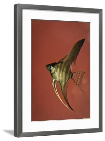 Angel Fish IV-Gordon Semmens-Framed Photographic Print