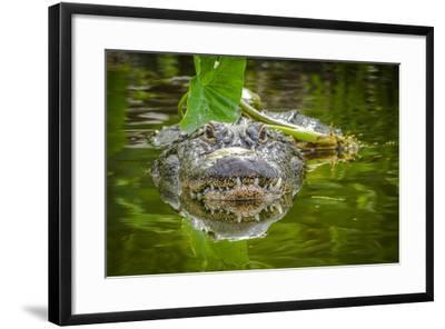 Alligator 2-Dennis Goodman-Framed Photographic Print