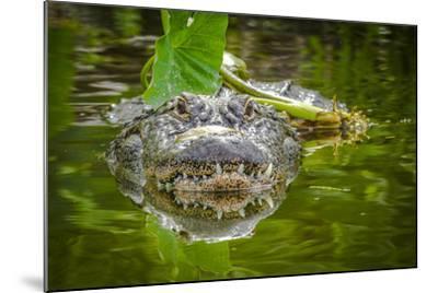 Alligator 2-Dennis Goodman-Mounted Photographic Print