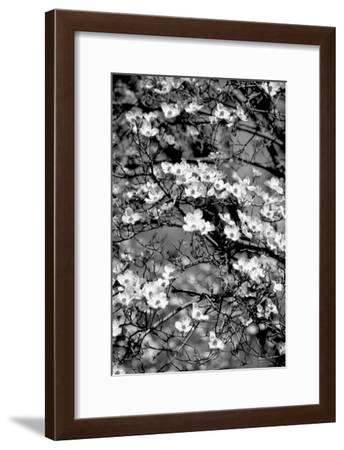 Dogwood Branch 2-Jeff Pica-Framed Photographic Print