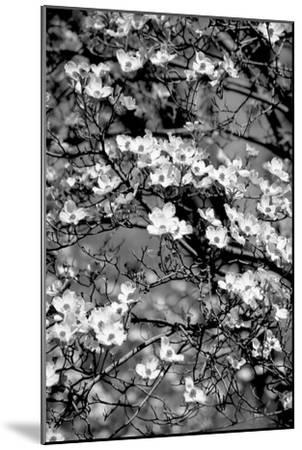 Dogwood Branch 2-Jeff Pica-Mounted Photographic Print