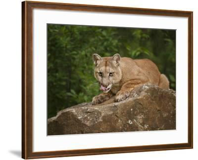 Mountain Lion Lunch-Galloimages Online-Framed Photographic Print