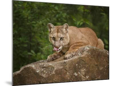 Mountain Lion Lunch-Galloimages Online-Mounted Photographic Print