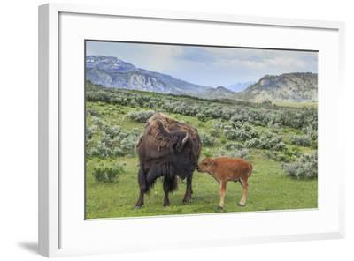 Bison and Calf (YNP)-Galloimages Online-Framed Photographic Print