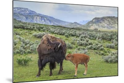 Bison and Calf (YNP)-Galloimages Online-Mounted Photographic Print