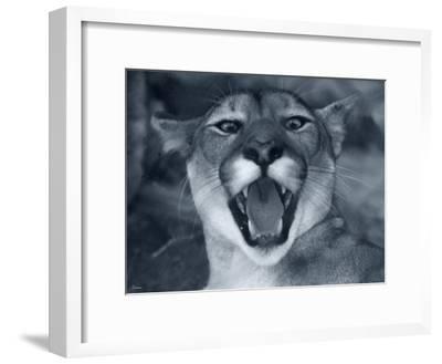 Cougar-Gordon Semmens-Framed Photographic Print
