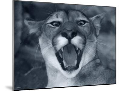 Cougar-Gordon Semmens-Mounted Photographic Print
