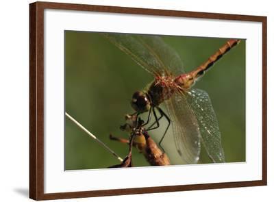 Dragonflies-Gordon Semmens-Framed Photographic Print