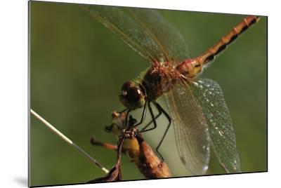 Dragonflies-Gordon Semmens-Mounted Photographic Print