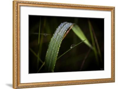 Blade of Grass with Dew Drops-Gordon Semmens-Framed Photographic Print