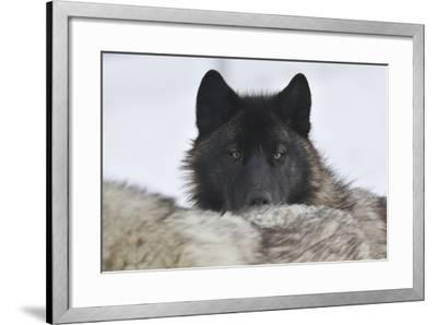 Zoo Wolf 08-Gordon Semmens-Framed Photographic Print