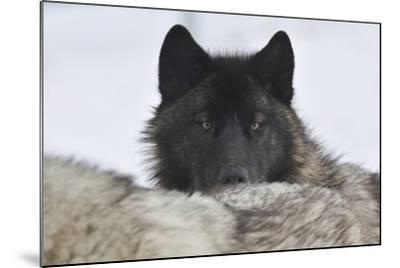 Zoo Wolf 08-Gordon Semmens-Mounted Photographic Print