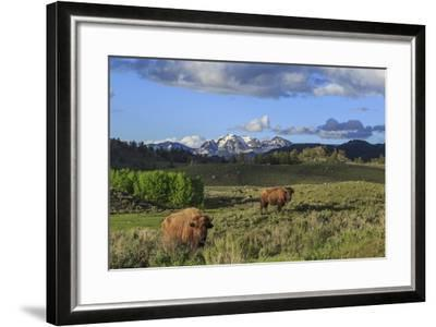 Bison with Mountains (YNP)-Galloimages Online-Framed Photographic Print