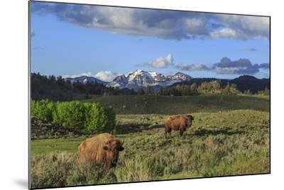 Bison with Mountains (YNP)-Galloimages Online-Mounted Photographic Print