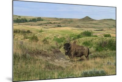 Bison in North Dakota Landscape-Galloimages Online-Mounted Photographic Print