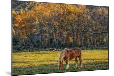 Cades Cove Horses at Sunset-Galloimages Online-Mounted Photographic Print