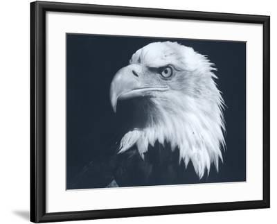 Bald Eagle 3-Gordon Semmens-Framed Photographic Print
