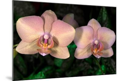 Orchid-Gordon Semmens-Mounted Photographic Print