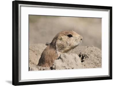 Prairie Dog-Gordon Semmens-Framed Photographic Print