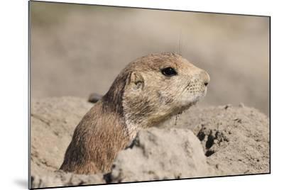 Prairie Dog-Gordon Semmens-Mounted Photographic Print