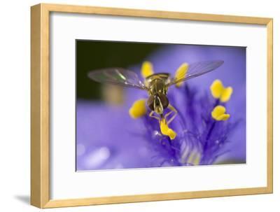 Flower, Bee-Gordon Semmens-Framed Photographic Print