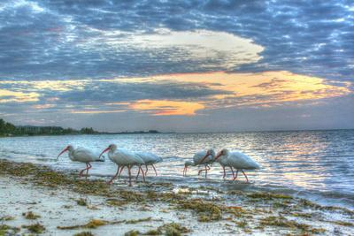 Ibis at Sunrise-Robert Goldwitz-Stretched Canvas Print