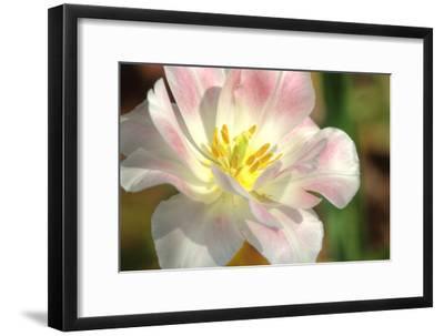 Tulip Pink CU-Robert Goldwitz-Framed Photographic Print