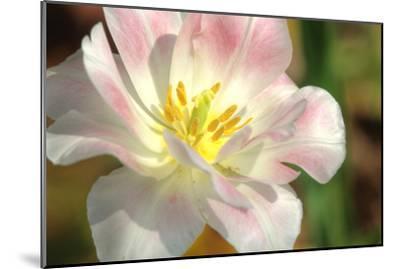 Tulip Pink CU-Robert Goldwitz-Mounted Photographic Print