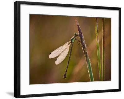 Dragonfly-Gordon Semmens-Framed Photographic Print