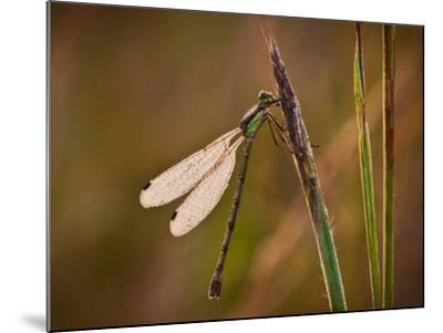 Dragonfly-Gordon Semmens-Mounted Photographic Print