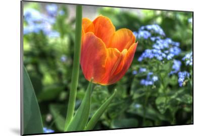 Tulip Blue Background-Robert Goldwitz-Mounted Photographic Print