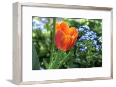 Tulip Blue Background-Robert Goldwitz-Framed Photographic Print
