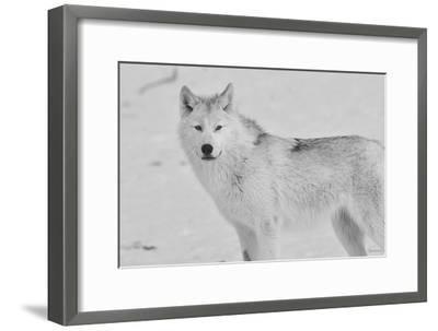 White Wolf 3-Gordon Semmens-Framed Photographic Print