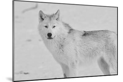 White Wolf 3-Gordon Semmens-Mounted Photographic Print