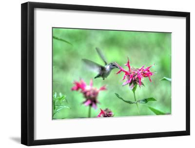 Hummingbird 2-Robert Goldwitz-Framed Photographic Print