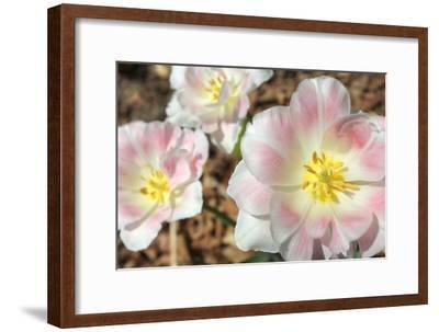 Three Pinks-Robert Goldwitz-Framed Photographic Print