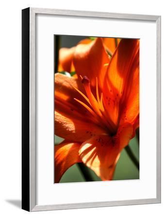 Tiger Lillies VI-Robert Goldwitz-Framed Photographic Print