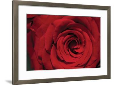 Red Rose Detail-Erin Berzel-Framed Photographic Print